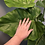 Thumbnail: Philodendron Wilsonii Giganteum 10""