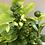 Thumbnail: 1 Gallon Calamondin Plant