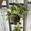 Thumbnail: Marble Queen Pothos Hanging Basket