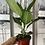 Thumbnail: Ficus 'Audrey'