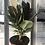 """Thumbnail: Ficus Elastica Tineke 6"""""""