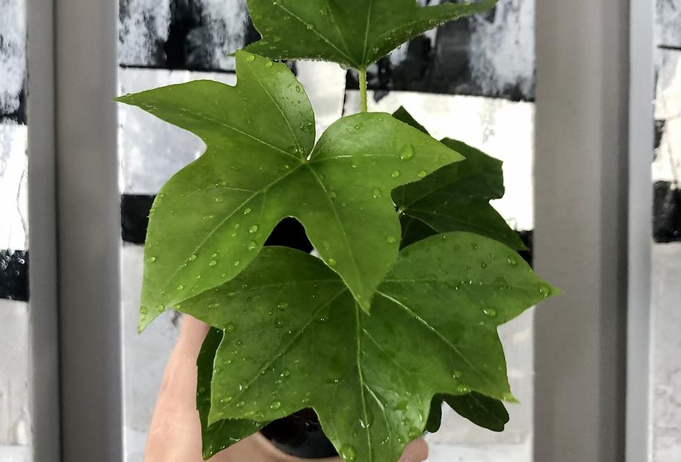 Fatshedera Ivy