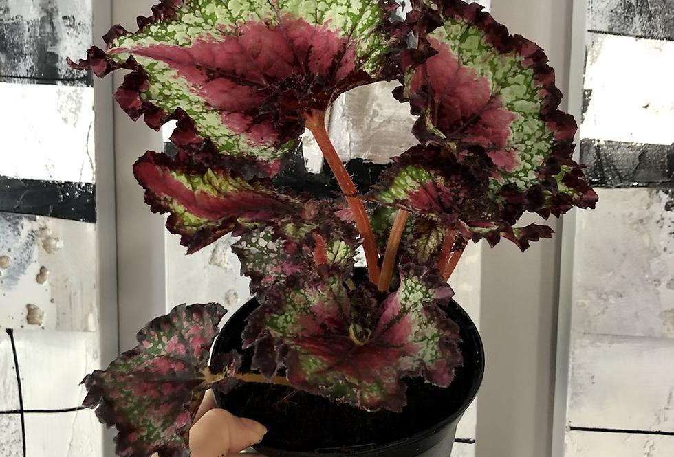 Begonia 'Rex'