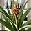Thumbnail: Pineapple Plant