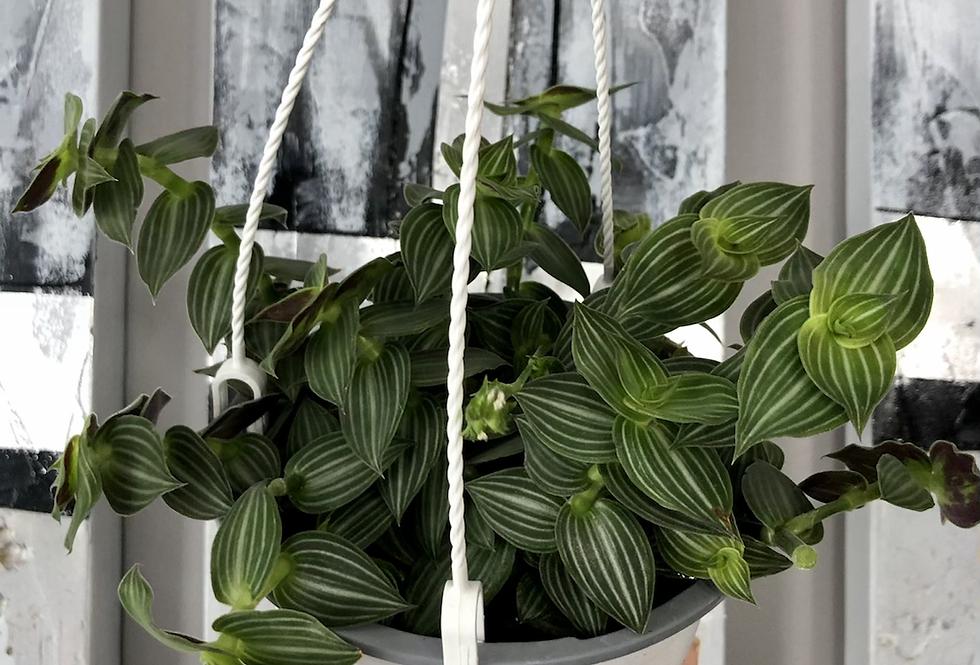 Tradescantia Callisia Elegans Hanging Basket