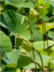 lotus de pleine conscience