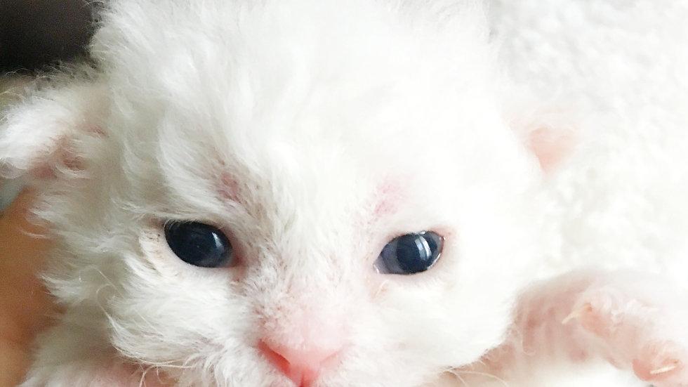 セルカークレックス 令和2年3月26日誕生 White・(カール)男の子 体重・127g→348g(02.4.12時点)