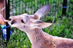 Fall Music Festival 2017 139 kangaroo