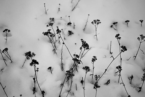 Flores en la nieve serie   1/20