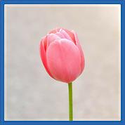 ורד ורוד.png