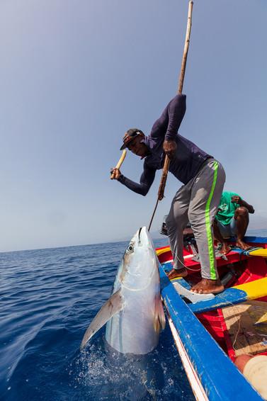 Yellowfin tuna | Atum 'rabo-seco' | Thunnus albacares