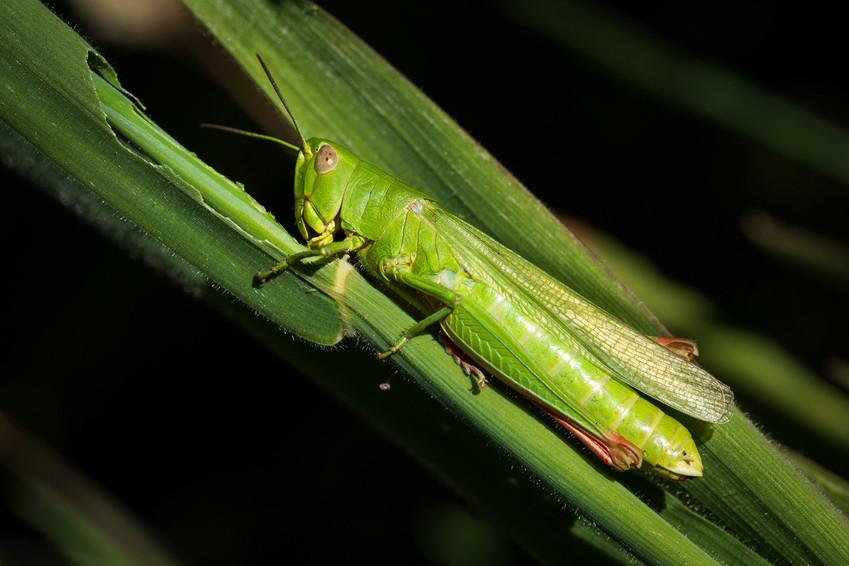Chorthippus jucundus   gafanhoto verde   Barragem de Verdelhos, Manteigas, Serra da Estrela   10 de Agosto de 2020