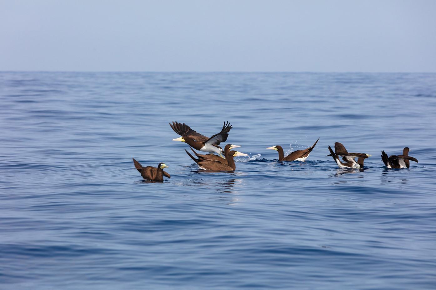 Brown booby | Alcatraz | Sula leucogaster