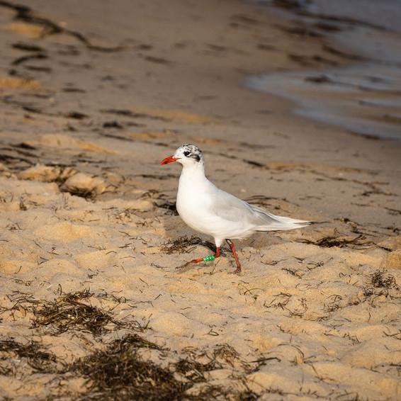 Larus melanocephalus   Mediterranean gull   gaivota-de-cabeça-preta   Ilha de Tavira (37.11192 -7.61685)   13 de Agosto de 2021