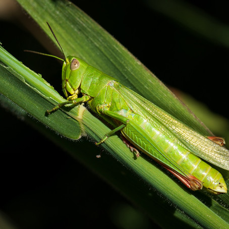 Large Green Grasshopper
