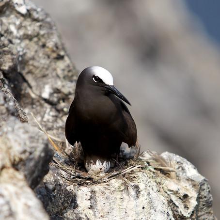 Aves das Tinhosas • Ilha do Príncipe