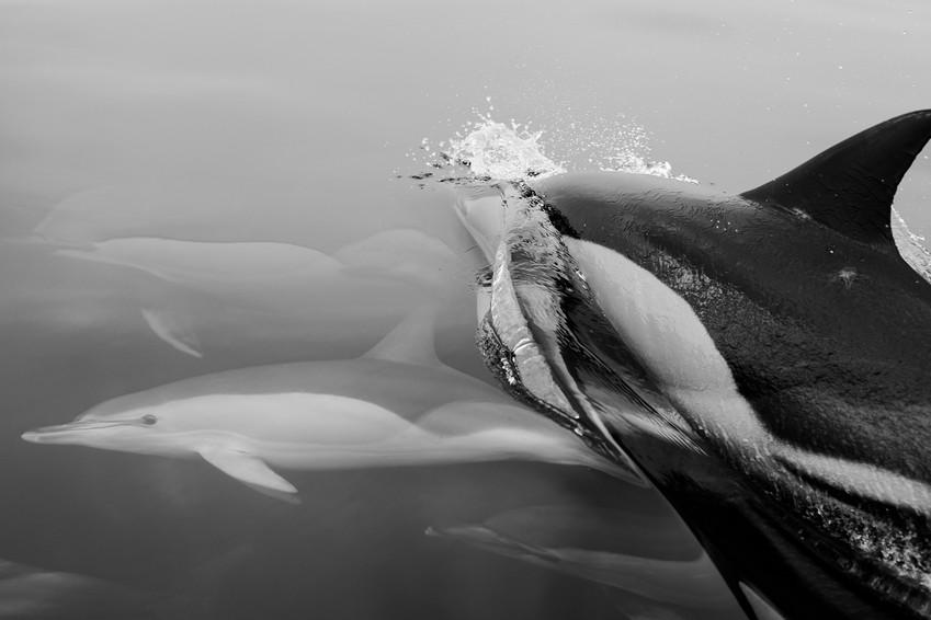 Delphinus delphis   short-beaked common dolphin   golfinho comum   Algarve   24 de Setembro de 2020