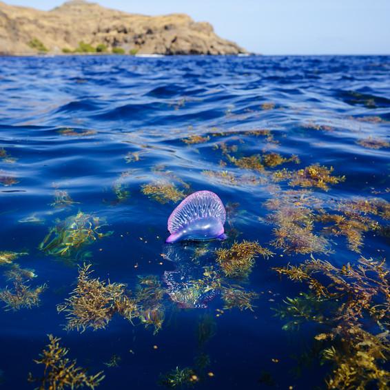 Physalia physalis entre Sargassum   Baía do Inferno   Cabo Verde   23 de Abril de  2021