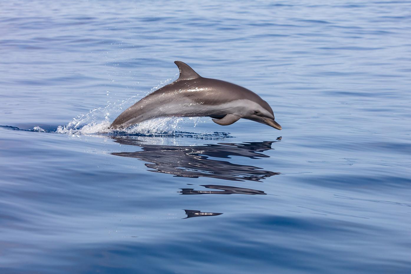 Pantropical spotted dolphin | Stenella attenuata