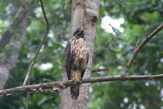 Hawk at Pura Veda