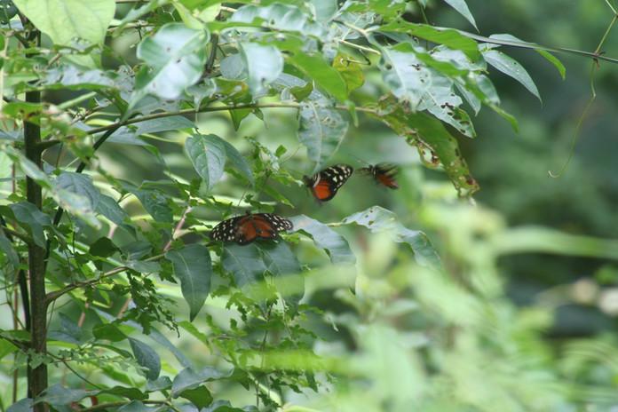 Butterflies at Pura Veda