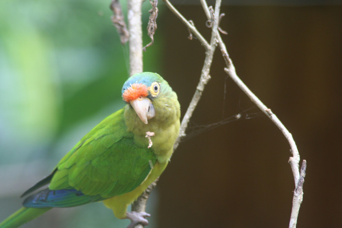 Parakeet Visits Pura Veda