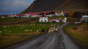 Sheep farm. Iceland