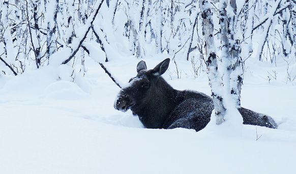 Abisko national parc / moose
