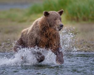 Alaskan Grizzly