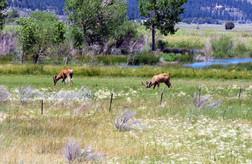 Two Deer Feeding in a Field