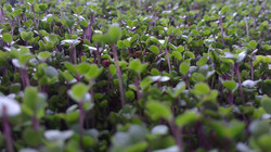 mild or spicy microgreens