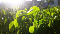 A Glory Fresh Microgreen