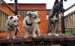 3 dogs on platform