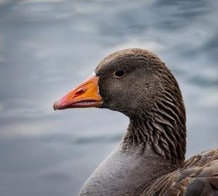 'Greylag Goose' by Stephen Haydon