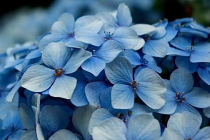 flor-azul-830x555.jpg