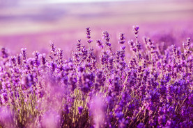 Lavender-Flowers.-Aromatherapy-shutterst