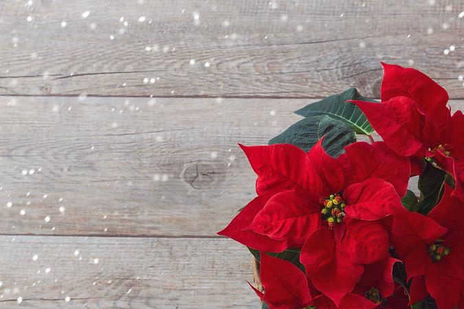 Christmas flower poinsettia over wooden background.jpg
