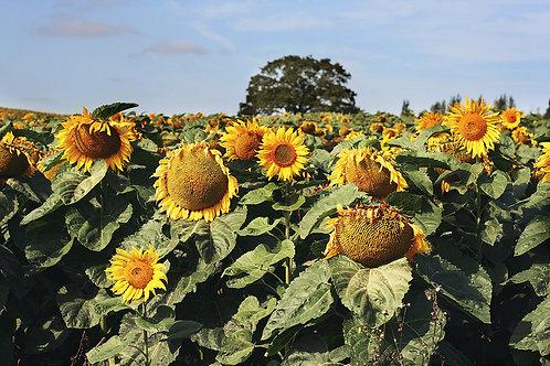 Sunflower Field A3 Canvas