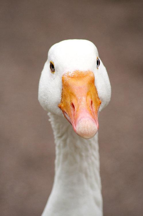 Inquisitive Goose Birthday Card