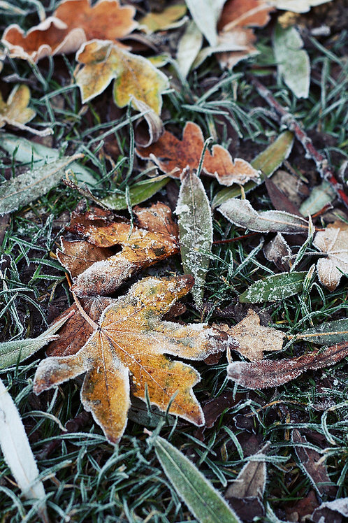 Frozen Leaves Greetings Card