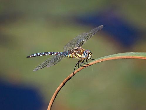 Dragonfly A4 Canvas