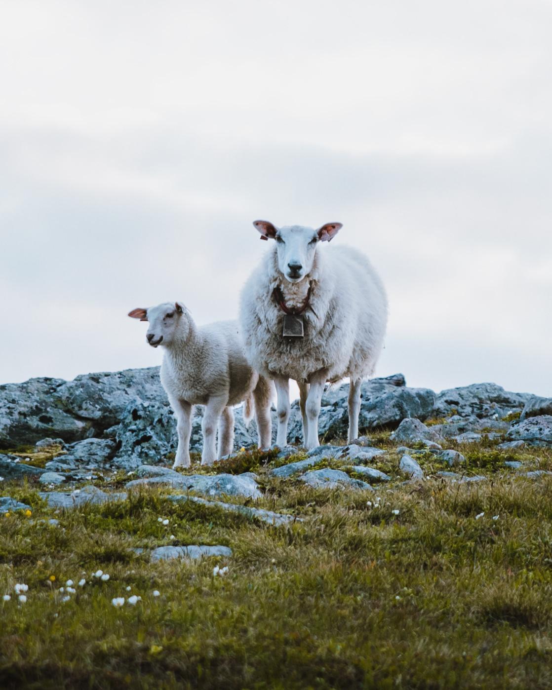 Vesterålen Sheep