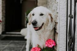 Pies na ślubie