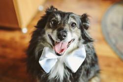 Pies w muszce na ślubie