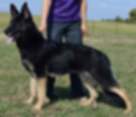 Sara Sunami, Bi-Color GSD female, Stacked picture
