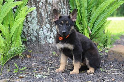 Black & Tan German Shepherd Puppy