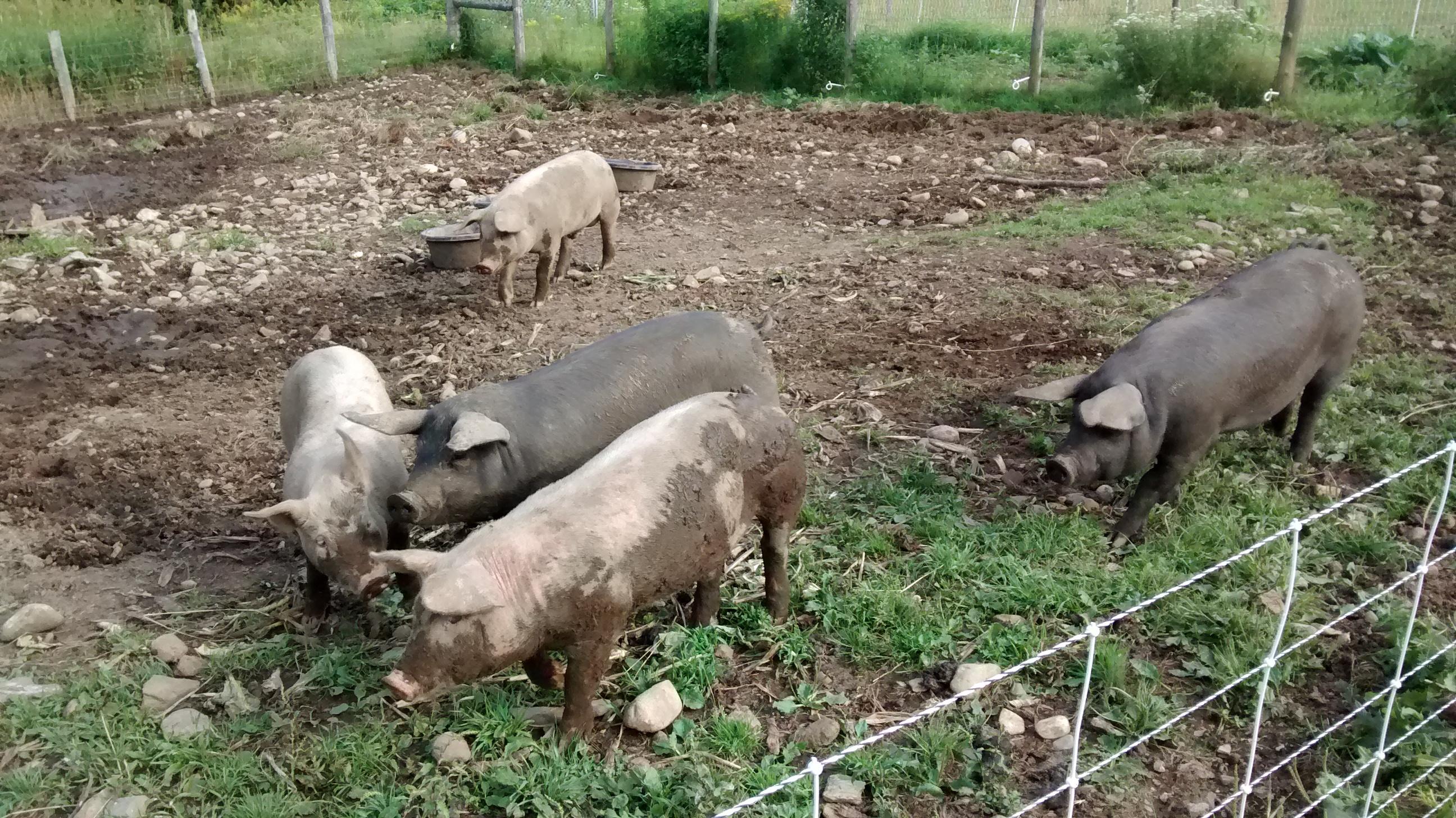 Pastured pigs