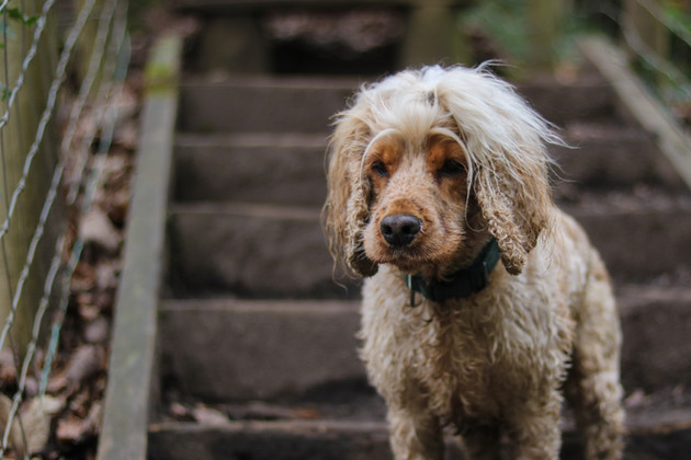 Cocker Spaniel with ridiculous hair