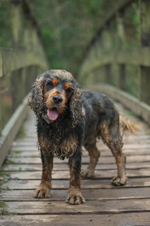 Cocker Spaniel on a Bridge