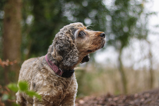 Cocker Spaniel in the woods